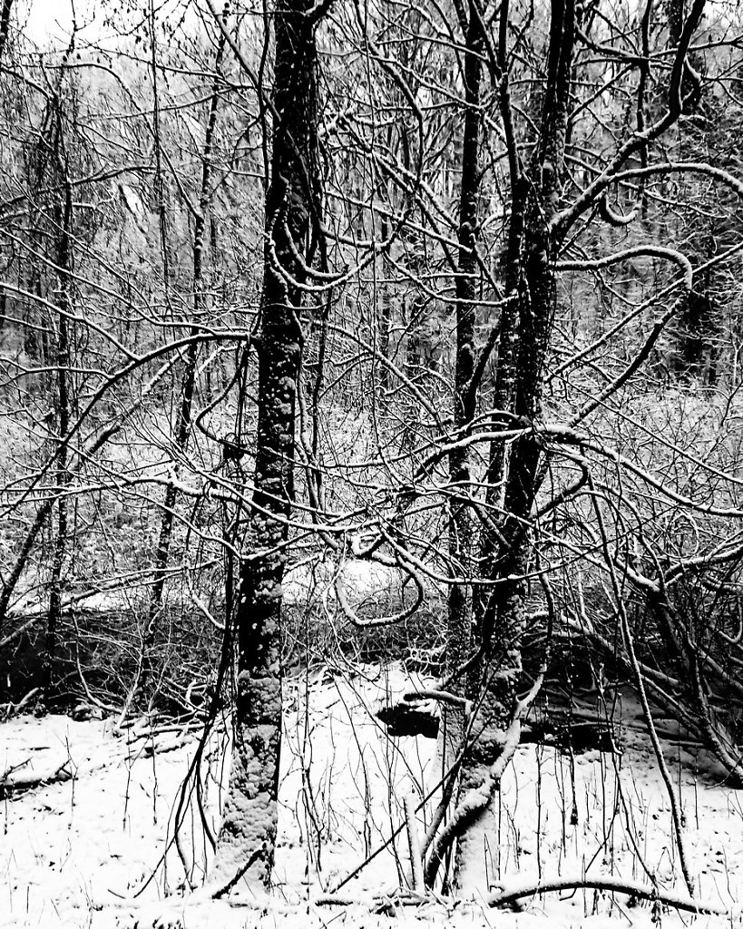Curly branches in the snow. 30.1.2019.
